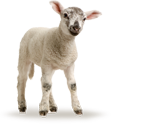 Bio-Futter Schafe & Ziegen