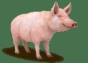 Bio-Futter Schwein