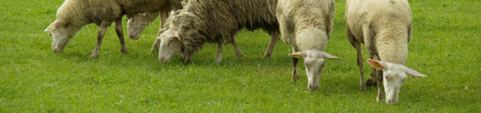 Bild Bio-Futter Schafe