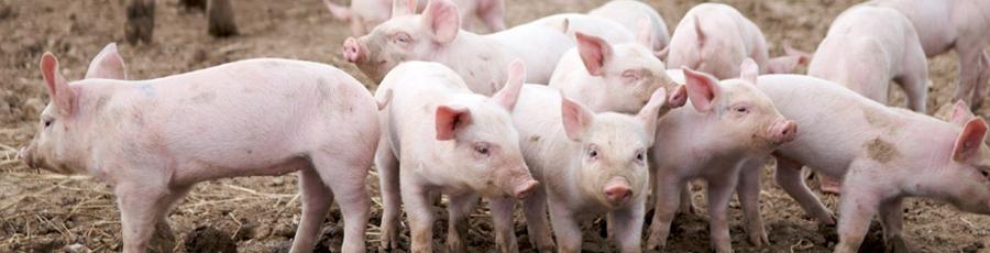 Bild Bio-Futter Schwein